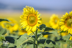 Full of sun sunflowers (WDnet) Tags: blue summer sky sun plant flower green nature floral beautiful beauty field yellow closeup season landscape leaf flora colorful natural bright blossom farm background country farming meadow culture sunny sunflowers plantation sunflower d750 agriculture blooming