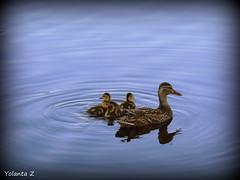 The new family (Yolanta Z) Tags: ducks
