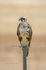 Posted. (JimsWalks) Tags: avalon birdofprey birding brownfalcon copyrightedallrightsreserved falcoberigora jamespeake nature raptor victoria wildlife