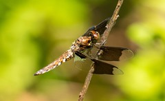 7K8A4897 (rpealit) Tags: male nature creek scenery dragonfly wildlife blair immature common preserve whitetail