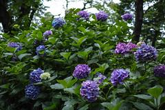 DP2Q4003lr (yoshitoshi ABe) Tags: flower sigma    dp2quattro 20160625