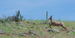 Trying to catch up with the herd nearby (cbaarch) Tags: california mammal sheep britishcolumbia okanagan bighorn ewe mcintyrecreekroad vaseuxwildlifecentre