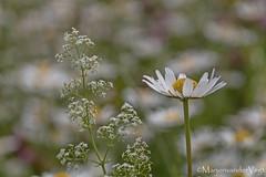 margriet (LadyLove1967) Tags: voorjaar denhaag zwanen nijlgansje bloemen