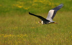 This will do nicely! (acerman17) Tags: heron nature grey flying wildlife frog prey predator