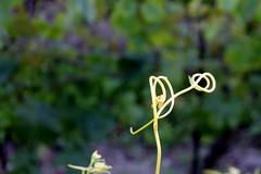 curly (overthemoon) Tags: schweiz switzerland vines suisse knot tendril vineyards curl svizzera noeud lavaux romandie rivaz flickrwalk flickrlausanne bourgenlavaux