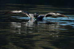 Common Loon - Wing Stretch (NicoleW0000) Tags: ontario canada reflection bird nature water photography wings pond wildlife watching aquatic common loon