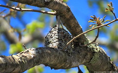Blue-gray Gnatcatcher (Polioptila caerulea) on nest (Steve Arena) Tags: nikon nest massachusetts d750 concord nesting gnatcatcher 2016 bluegraygnatcatcher polioptilacaerulea middlesexcounty greatmeadows greatmeadowsnwr bggn concordimpoundments