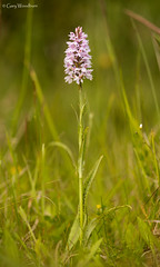 Common Spotted Orchid - Embleton Quarry, Northumberland (Gary Woodburn) Tags: pink orchid flower macro canon sigma semi northumberland spike spotted common grassland improved quarry 6d 105mm embleton