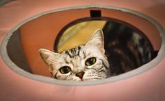 Oh Human~ (BHiveAsia) Tags: cat cats animal animals pet pets feline felines wild life wildlife nature portrait kitten cute kitty