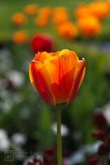 Tulip (HagenSiegler) Tags: city flower color berlin colors germany deutschland nikon europa europe stadt tulip nikkor blume hagen nahaufnahme pankow tulpe 247028 siegler hsf 2013 d800e hagensiegler hagensieglerfotodesign