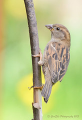 Bird on Willow (GemElle Photography) Tags: house bird cane spring nikon sparrow stick gemelle sigma50500 d600 gemelle1