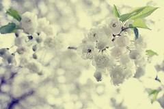 under the tree (Margot in Love) Tags: white flower tree nature spring blossom natur blume baum frhling blten blhen weis 2013 pentaxk5