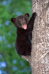 Cute Baby Black Bear. (AlaskaFreezeFrame) Tags: bear cute nature animal alaska canon cub claws blackbear