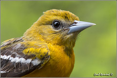 Northern Oriole (130518-0238) (Earl Reinink) Tags: park ontario canada art nature point photography nikon flickr photographer image images earl flikr park provincial d4 art nikon rock photography images nature provincial lens ontario canada ontbirds fine earl photographer lenses reinink reinink d4 niagara