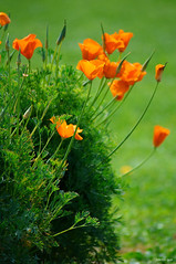 Orange Poppies on Green (Igor Nikitin) Tags: red summer orange sun field nikon dof sunny depthoffield greenbackground d90