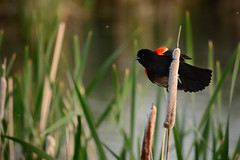 Red Wing Blackbird in the Hyatt Hidden Lakes Reserve (Michael E(xploratory) S.) Tags: background wetlands redwingblackbird