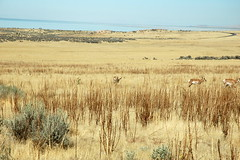16 - Pronghorns (Scott Shetrone) Tags: animals utah events places antelopeisland mammals 7th pronghorns anniversaries