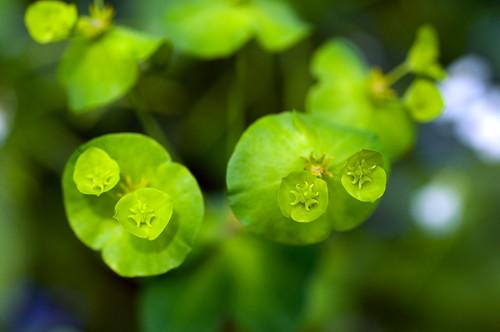 wood spurge Euphorbia amygdaloides