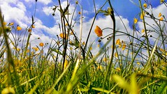 Through the Grass (Raven Photography by Jenna Goodwin) Tags: flowers summer sky plants sun flower colour green field grass yellow clouds buttercup pov sunny below flickrfriday 97percent flickrandroidapp:filter=none