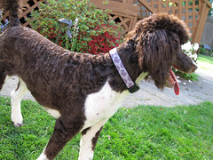 Elongated (lesliezemenek) Tags: brown puppy tuxedo bruno standardpoodle partipoodle