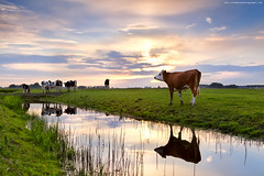 cattle on pasture and river at sunset (Olha Rohulya) Tags: blue sunset summer sky cloud sun sunlight holland reflection green nature water netherlands dutch field sunshine animal yellow rural sunrise river season landscape outside outdoors countryside cow canal scenery shine view cattle sundown bright farm horizon seasonal scenic meadow nopeople surface farmland few domestic reflect pasture groningen pastoral plain herd farmanimal