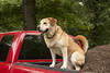 The Helper (miss_n_arrow) Tags: dog truck garden bed canine juneau flowerbed sit mulch huskador