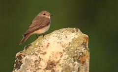 Spotted Flycatcher (Daniel Trim) Tags: england church graveyard beds bedfordshire churchyard striata spottedflycatcher muscicapa