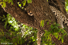 Lazing about (EarthTouch) Tags: africa sleeping animals cat wildlife leopard predator uploadedviaflickrqcom