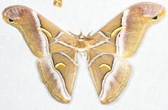 Samia canningii (Saturniidae) (Scrubmuncher) Tags: moth samiacanningii tamanthi myanmar burma rosspiper myanmarburmawildburmabbc2expeditionbbcexpeditionrosspiperentomologistentomology htamanthi moths lepidoptera lighttrap