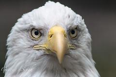 Bald Eagle (gauravs82) Tags: brown white bird eye beautiful smart yellow closeup golden eyes eagle symbol beak feathers bald sharp national american raptor stare hunter predator curved birdofprey haliaeetus leucocephalus