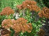 "Sedum Autumn Joy • <a style=""font-size:0.8em;"" href=""http://www.flickr.com/photos/101656099@N05/9736792876/"" target=""_blank"">View on Flickr</a>"