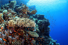 Healthy Coral (Day Is Coming) Tags: ocean life fish color colour colors coral redsea egypt