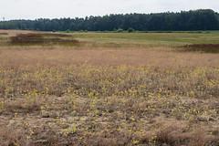 Sandstrohblume Helichrysum arenarium (alustar99 - offline) Tags: mecklenburgvorpommern mritz mritznationalpark sandstrohblume helichrysumarenarium krienke
