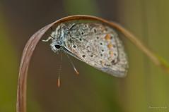 Rain cover II (Danny_Little) Tags: nature animals butterflies insects romania closeups sigma105mmf28exdgmacro giurgiu nikond90 calugareni kenkotelepluspro30014x