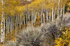Aspens and Sage (Jackpicks) Tags: trees west aspens wyoming tetons sagebrush grandtetonnationalpark flickrdiamond mygearandme