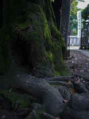 Green Moss (Kenny Banana) Tags: wood green japan tokyo moss stem olympus root meguro omd em5