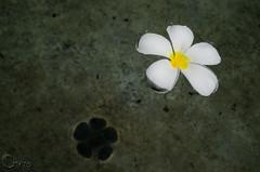 Sri Lanka - Araliya flower (Chirantha777) Tags: flowers shadow flower water nikon sri lanka araliya d5100