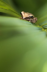 Common Tree Frog (Daniel Trim) Tags: tree four frog malaysia langkawi common treefrog lined polypedates leucomystax fourlinedtreefrog