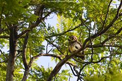 Spotted Owlet (Athene brama) นกเค้าจุด