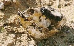 Czaszka. Skull (stapaw) Tags: death skull worms czaszka śmierć robaki