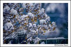 Snow Covered (Summerside90) Tags: snow nature garden backyard december wildlife covered hydrangea