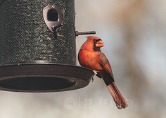 Nom nom nom (Doxieone) Tags: red male bird cardinal eating feeder eat