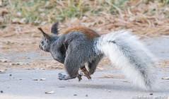 High Tailing It Outta Here! (Squirrel Girl cbk) Tags: arizona black squirrels unitedstates northrim whitetail grandcanyonnationalpark treesquirrel kaibabsquirrel sciurusabertikaibabensis tuftedears