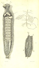 Leech from the British Library