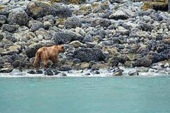 _MG_4378a (markbyzewski) Tags: alaska ugly brownbear grizzlybear glacierbaynationalpark