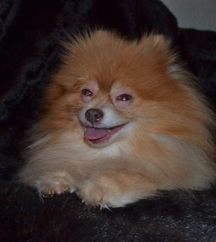 Best Dog Harness For Pomeranian