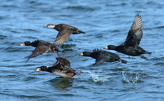 Surf and Black Scoter - launch