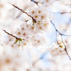 Fantasy Sakura / Tokyo, Japan (yameme) Tags: travel flowers nature japan canon eos tokyo  sakura cherryblossoms  mitaka    inokashirapark   musashino  24105mmlis  5dmarkii 5d2