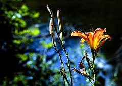 Think Summer (Wes Iversen) Tags: flowers nature michigan blossoms lilies rivers midland tigerlilies hbw chippewanaturecenter bokehwednesdays