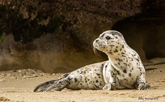 Curiosity (Happy Photographer) Tags: california lajolla getty alert harborseal gettyimages curiousity sealpup happyphotographer amyhudechek